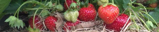 cropped-strawberry-1.jpg