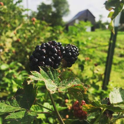 Blackberry and barn