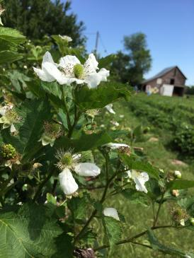 BlackberryBlooms